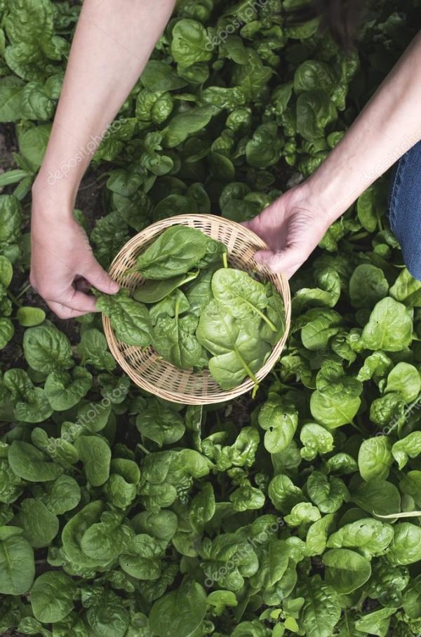 depositphotos_115923680-stock-photo-picking-spinach-in-a-home