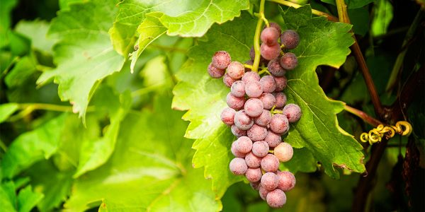 figure-grape