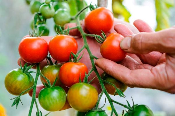 greenhouse-tomatoes-big