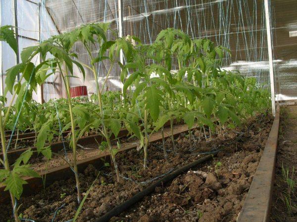 kak-vyraschivat-pomidory-v-teplitse-zimoy