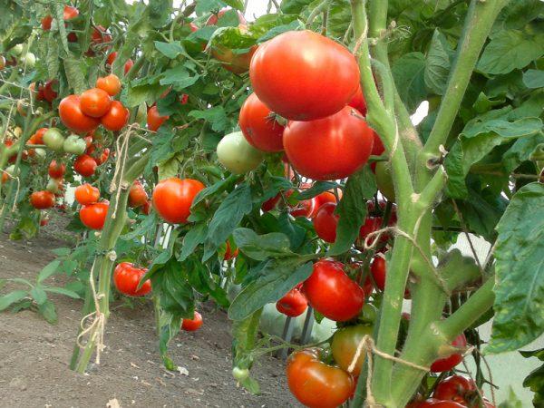 kak_vurashivat_tomatu_pomidoru