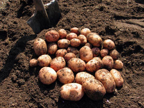 kartofel-sort-avrora