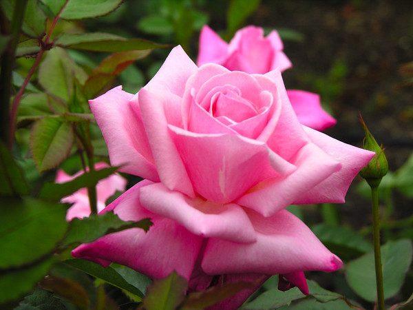 lepestki-rozy-poleznye-svoystva-i-protivopokazaniya-1