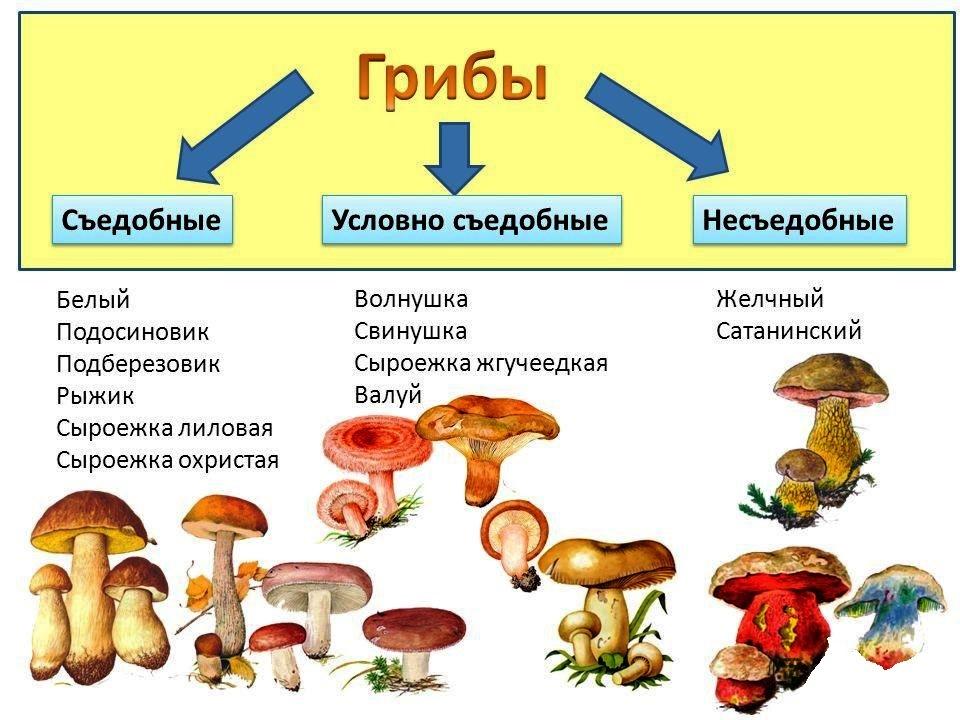 классификация грибов по съедобности с фото поздравляю