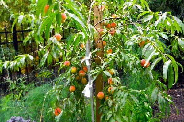 peach-tree-big