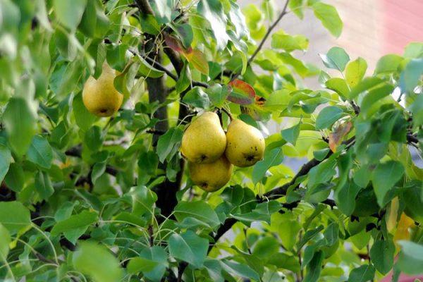 pear-tree-big