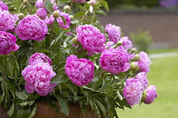 peony-paeonia-sp-double-pink-variety-visionspictures