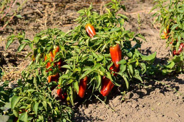 pepper_004