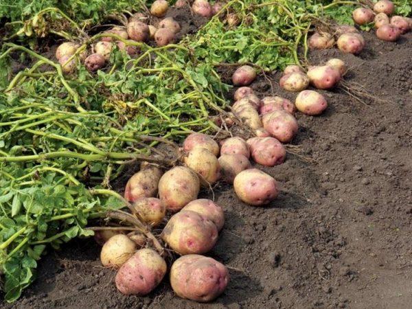 piantare-patate_NG2