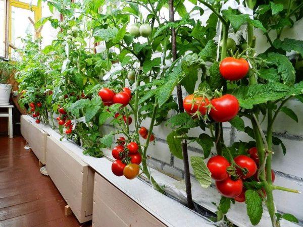pomidory-na-balkone