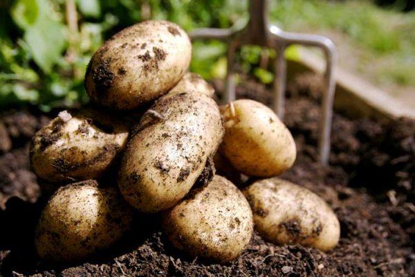 potatoes-harvest-big