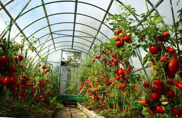 pravilnyj-uxod-za-pomidorami-v-teplice