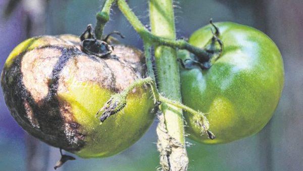 proiavleniia-fitoftory-na-plodakh-tomata