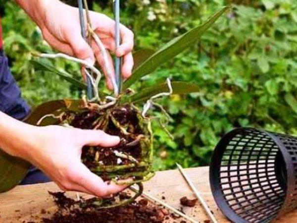 razmnozhenie-orhidei-konevoi-sistemoi