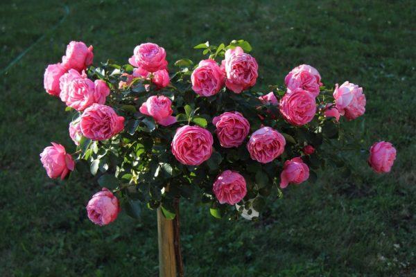 roses-1270981_1280-975x650