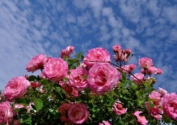 roses-411761_1280-e1518129048762