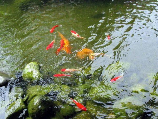 ryba-dlja-pruda-razvedenie-uhod-i-kormlenie_15