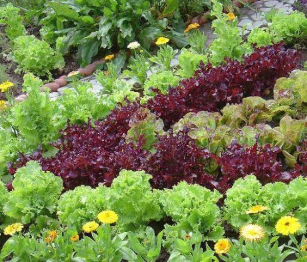 salat-na-gryadke