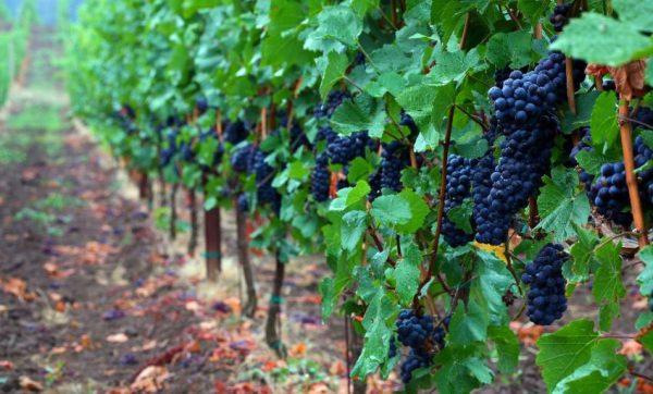 Выращиваем виноград. Ошибки начинающих виноградарей