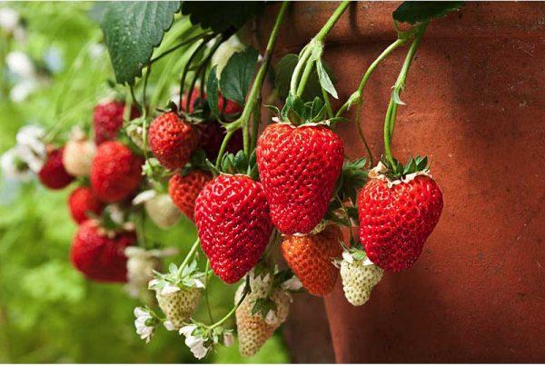 strawberryloran