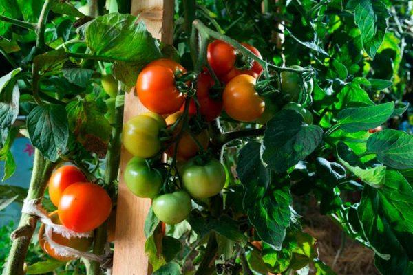tomato-plants-big