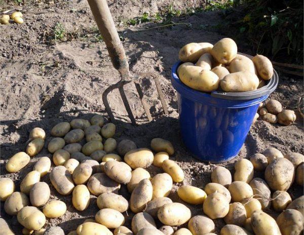 v-kakie-sroki-posle-cveteniya-sozrevaet-kartofel