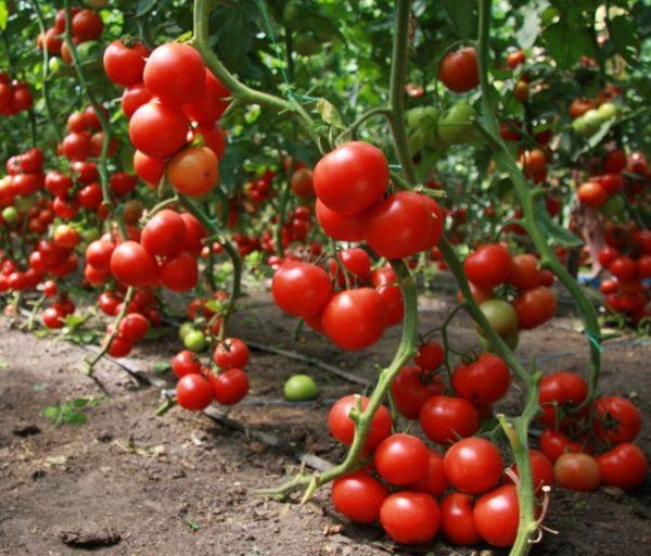 vyrashhivanie-tomatov-1