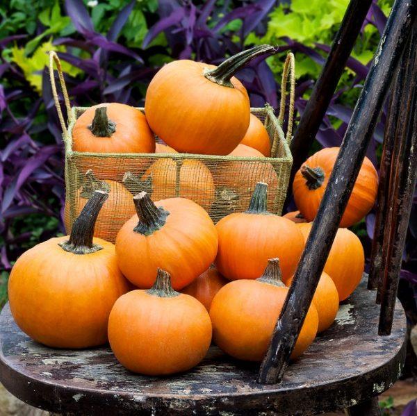 wee-b-little-pumpkin