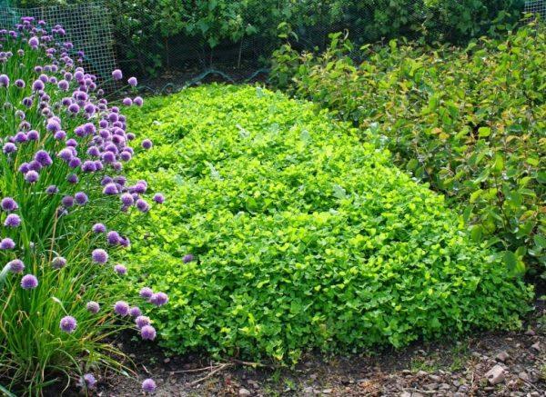 03-Green-manure