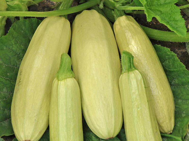 Картинки по запросу Хороший урожай кабачков