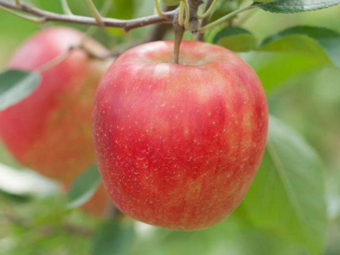 Картинки по запросу Основные причины плохого роста у яблони