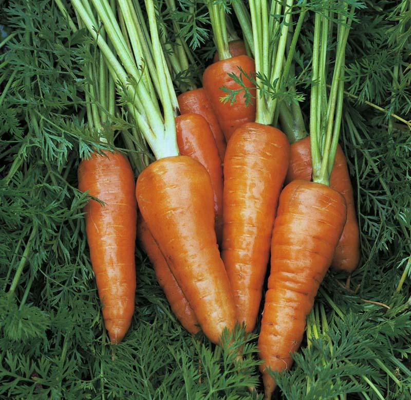 Картинки по запросу Морковь Амстердамская