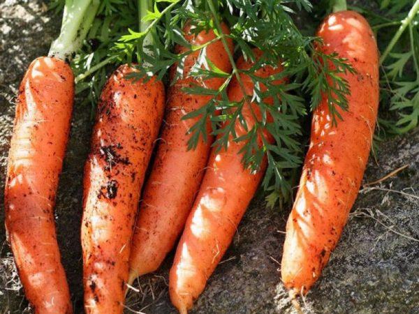 Хранение моркови с умом. Узнайте как правильно хранить морковь после сбора урожая!