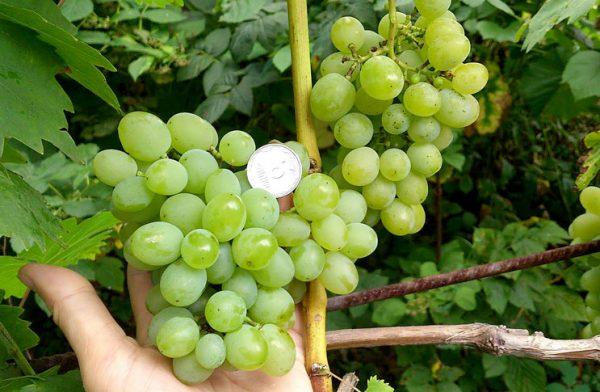 4em-podkarmlivat-vinograd-kak-udobriat-vinogradniki-1