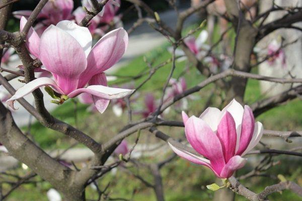 634627554_1_1000x700_magnoliya-derevo-vesennego-sada-prodayu-nikolaev