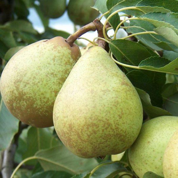 Beth-Pear-Tree