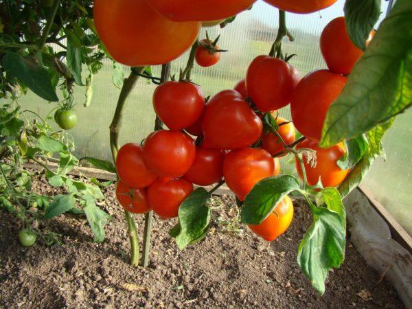 CHto-luchshe-posadit-posle-tomatov-1024x768