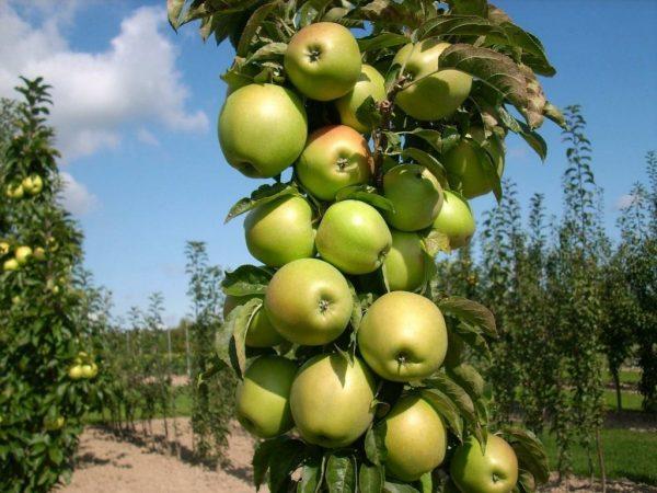 Columnar-Apples-tree