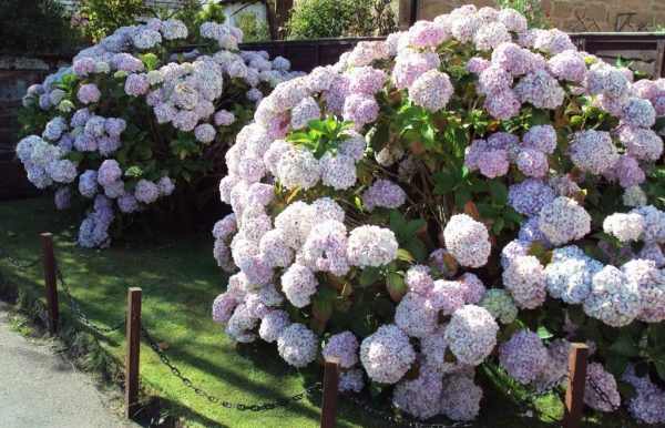Hydrangea-pruning-07