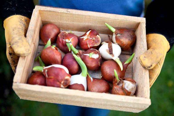 Kak-hranit-lukovicy-tjulpanov-do-oseni77