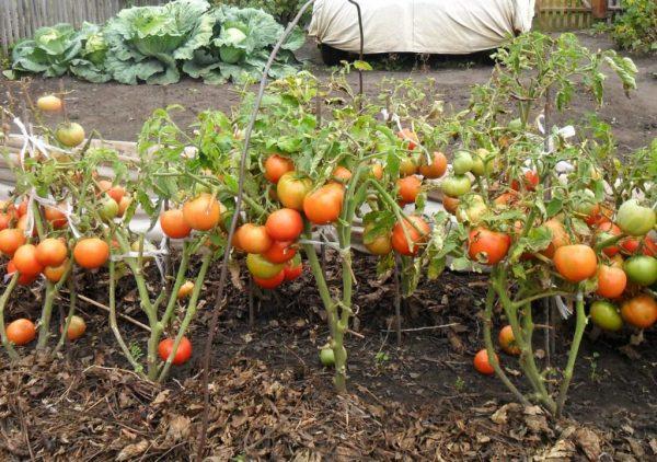 Kak-vyrastit-pomidory-bez-rassady-20-1