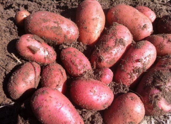 Kartofel_sort