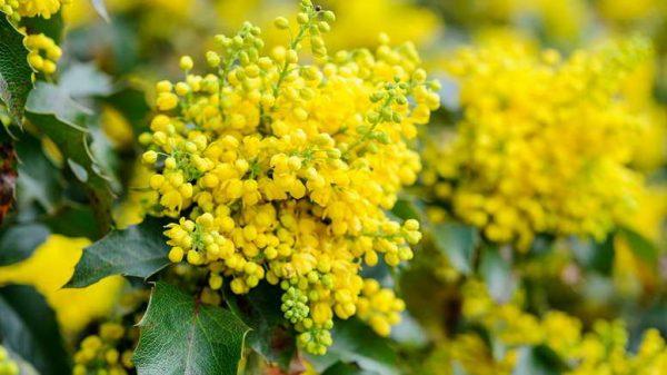 Magoniya-padubolistnaya-uhod-i-vyrashhivanie-Mahonia-aquifolium-Apollo-foto