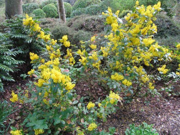 Mahonia-aquifolium