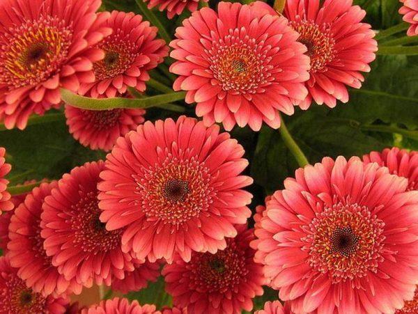 Mnogoletnie-tsvety-14