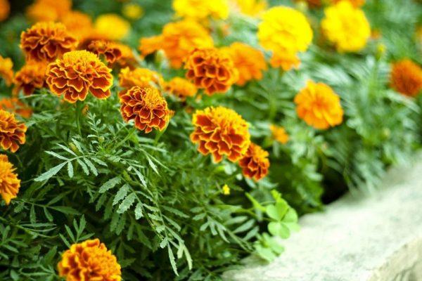 Nizkoroslye-cvety0-810x540