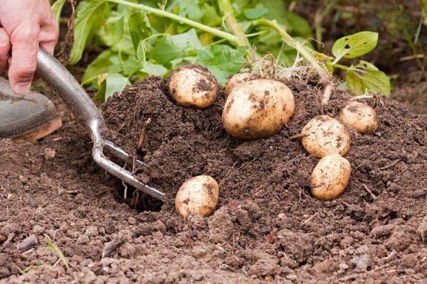 Potato-harvest-big-1