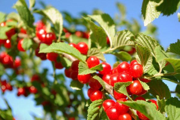 Prunus-tomentosa-00