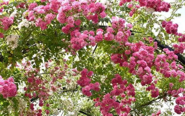 Rambling-Roses
