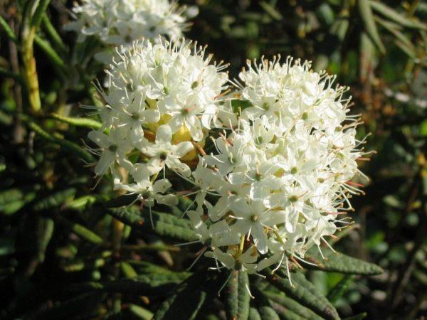 Rhododendron-groenlandicum